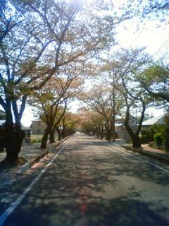 豊田高専への逆光の葉桜の桜並木