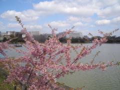 河津桜満開です。
