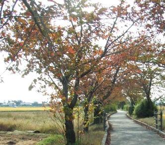 061017sakura.jpg