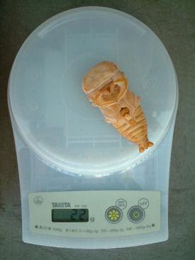 ベトナムグラン49-02 蛹体重