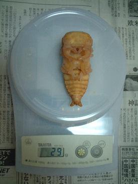 ミァンマー B29-07 蛹体重
