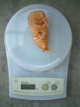 SB19 蛹体重
