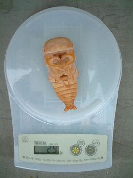 BL09 蛹体重
