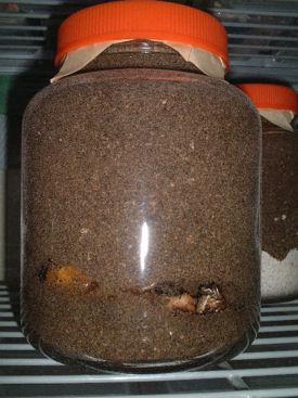 ミャンマー産 蛹