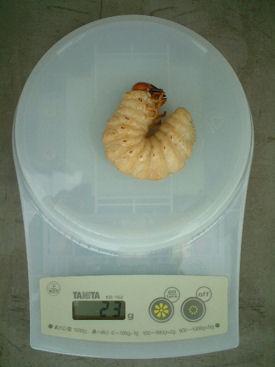 ミャンマーグランB-29-01前蛹体重