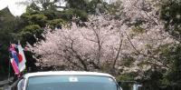 koinobori_HIACE_sakura.jpg