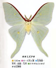 oomizuao-zukan-2