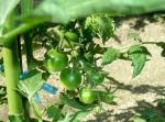 tomato_03r