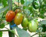 tomatonomi2r