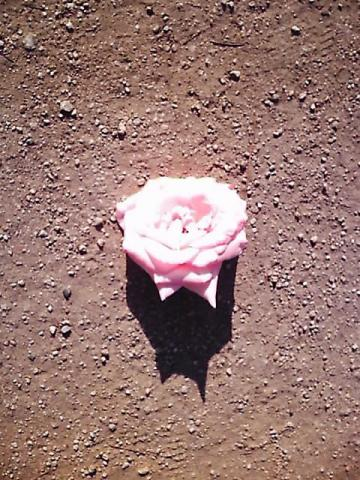 rose00.jpg