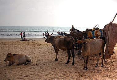夕方になると海岸に集まるゴアの牛くん達の画像