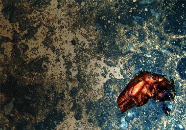 石垣島で見つけたセミの亡骸