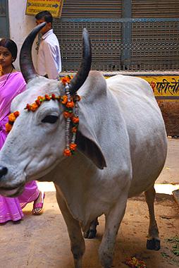 優しい牛の場合