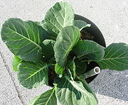 180px-Collards_in_container.jpg