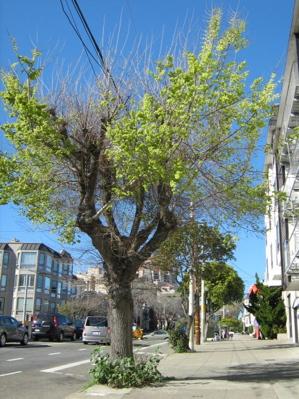 arguello_tree3.jpg