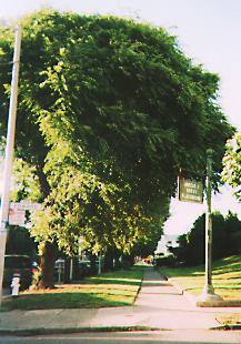 streetsidetrees.jpg