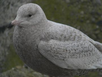 Gull0803