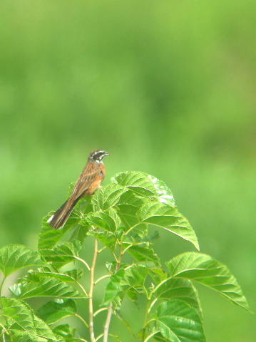 MeadowBunting0707