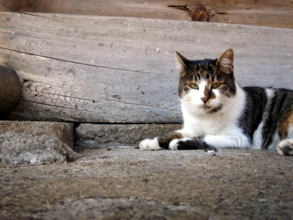 法華経寺の猫3