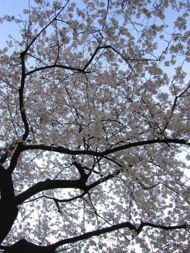 Sakura2003April1.jpg