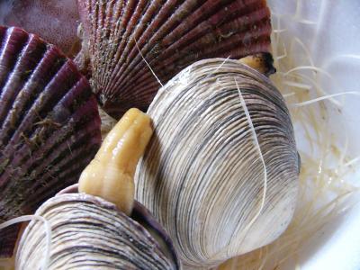生ひおうぎ貝と大アサリです。