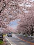 満開の桜のトンネル?