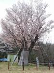 山ノ上の山桜