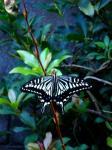 夕方のアゲハ蝶