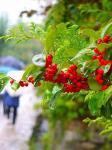 雨にぬれた赤い実が秋を感じさせる