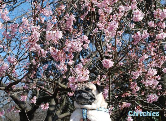 春を背負ったチッチ