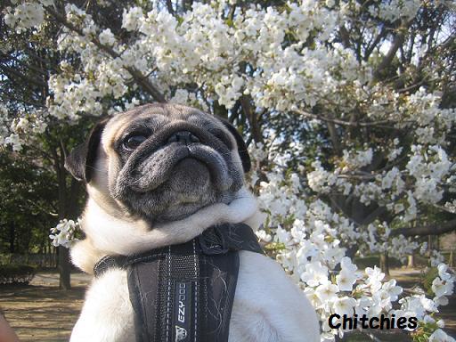 これは大島桜