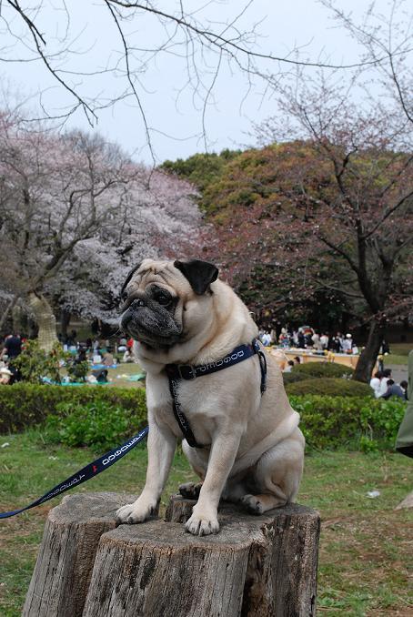 桜とチッチ、切株バージョン・・・