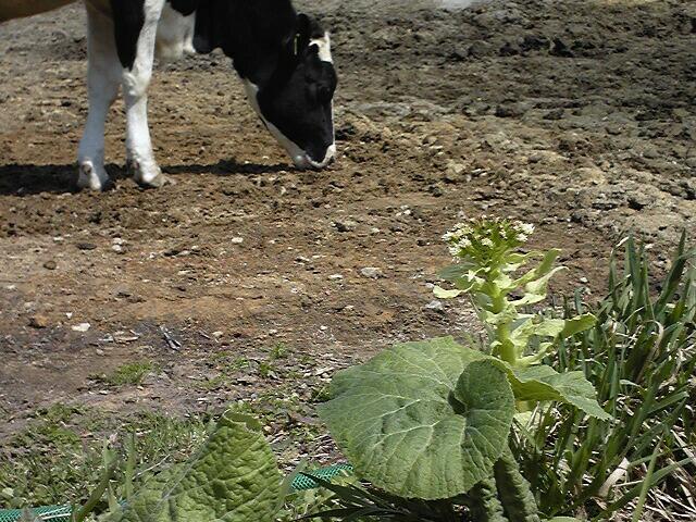 フキノトウと牛