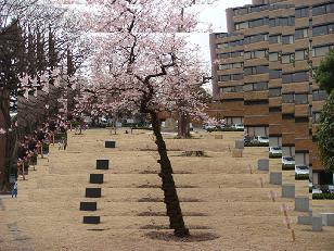東大の桜①