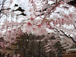 東大の桜②