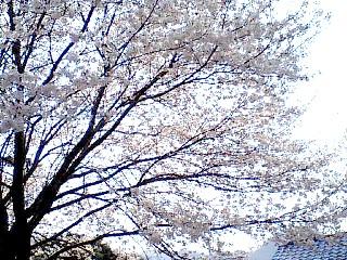 2009sakura