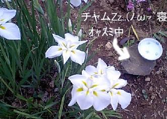 20090609ayame-2