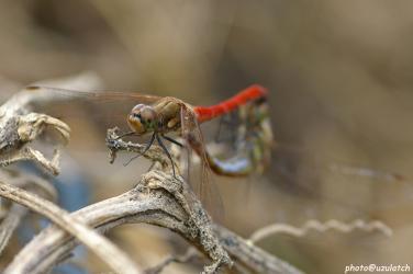 カップルの蜻蛉オス