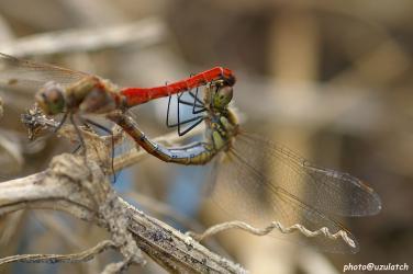 カップルの蜻蛉メス