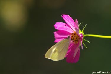 秋桜とモンシロ蝶