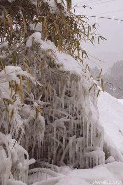 凍る笹の葉