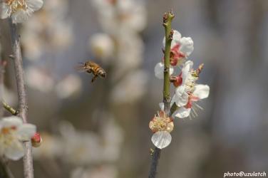 白梅とミツバチ01