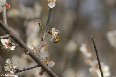 白梅とミツバチ02