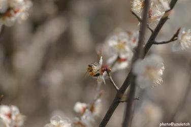白梅とミツバチ03