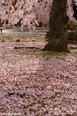 蓮台寺~散桜