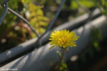 たんぽぽの花