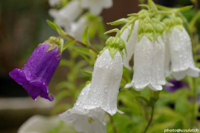 雨上がりの白花
