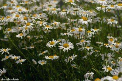 白い花たち