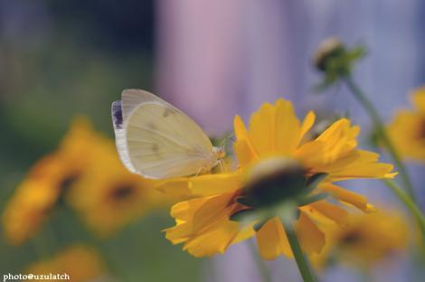 黄花とモンシロ01b