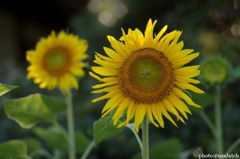 隣の向日葵